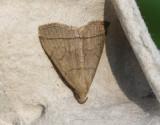 Gulgrått tofsfly  Herminia tarsipennalis