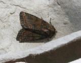 Rödskimrande ängsfly  Oligia latruncula