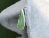 Grön pilspinnare  Earias clorana