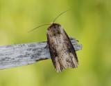Träfärgat jordfly  Axylia putris