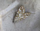 Näckrosmott  Elophila nymphaeata