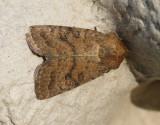 Gulbrunt lövfly  Hoplodrina octogenaria