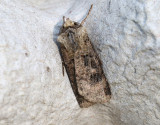 Barkfärgat jordfly  Agrotis clavis