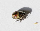 Purpurbärfis Carpocoris purpureipennis
