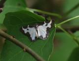 Mindre fläckmätare  Lomaspilis marginata