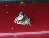 Vitfläckat glansfly  Deltote pygarga