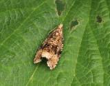 Föränderlig brokvecklare  Celypha lacunana