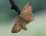 Plommonmätare  Angerona prunaria