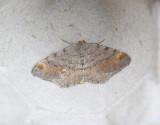 Tallbågmätare  Macaria liturata