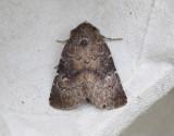 Mörkbrunt skuggfly  Charanyca ferruginea