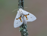 Vit hakvinge Leucodonta bicoloria