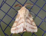 Ängsringspinnare  Malacosoma castrense