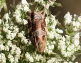 Hagtornssommarvecklare  Archips crataeganus