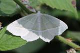 Blekgrön mätare  Campaea margaritaria