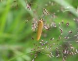 Ockragul lavspinnare  Eilema lutarellum