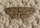 Small Engrailed Moth (6597)