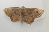 One-spotted Variant Moth (6654)