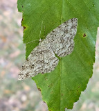 Small Engrailed (6597)