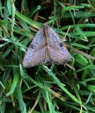 Wedgling Moth (9688)