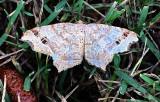 Common Angle Moth 6326