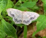 Large Lace Border Moth (7158)