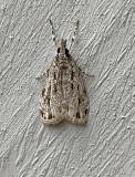 Striped Eudonia Moth (4738)