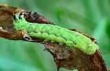 The Cobbler Moth Caterpillar (9699)