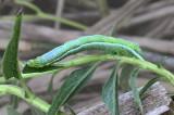Soybean Looper Moth Caterpillar (8890)