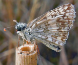 Checkered Skippers