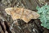 U.S. MOTHS:  Thyrididae - Geometridae:Lithostege