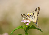 Beautiful Machaon in the town of Modica