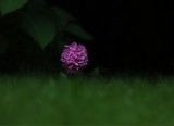 One hydrangea...