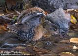 Central Park Waterbirds