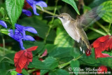 Central Park Hummingbirds