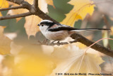 Long-Tailed Tit  (Staartmees)