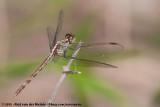 Band-Winged DragonletErythrodiplax umbrata