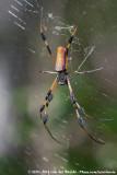 Golden Silk OrbweaverNephila clavipes fasciculata