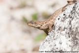 Northern Curly-Tailed LizardLeiocephalus carinatus armouri