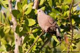 Common Ground DoveColumbina passerina passerina