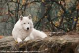 Arctic WolfCanis lupus arctos