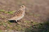 Savannah Sparrow  (Savannahgors)