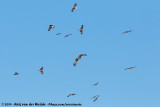 Black-Eared KiteMilvus migrans lineatusand White-Tailed EagleHaliaeetus albicilla albicilla