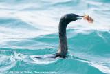 Pelagic CormorantPhalacrocorax pelagicus pelagicus