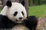 Giant PandaAiluropoda melanoleuca melanoleuca