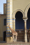 GiraffeGiraffa camelopardalis ssp.