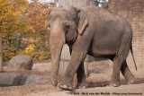 Asian ElephantElephas maximus indicus