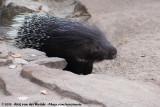 Cape PorcupineHystrix africaeaustralis
