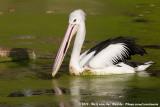 Australian PelicanPelecanus conspicillatus