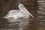 Pink-Backed PelicanPelecanus rufescens