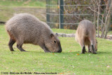 CapybaraHydrochoerus hydrochaeris